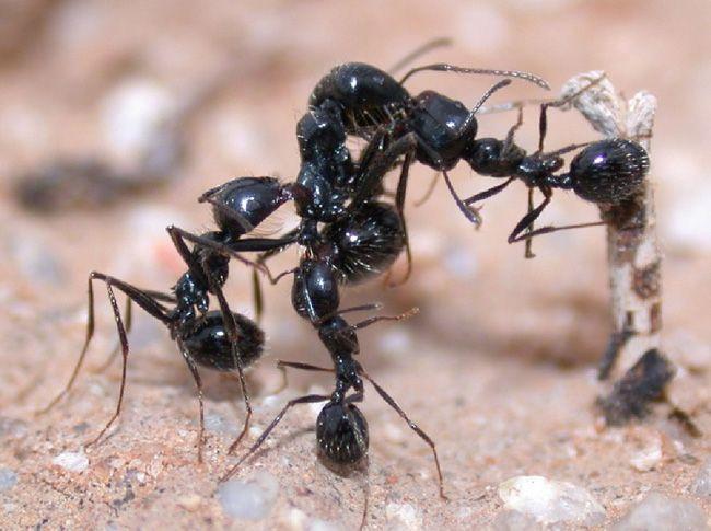 Görsel 3. Siyah hasatçı karıncalar (Messor pergandei) komşu yuvadan gelen davetsiz misafire saldırıyorlar.  2010 Nature Education Fotoğraf: R. M. Plowes