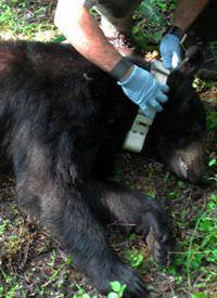 Bir kara ayıya (Ursus americanus) radyotelemetri tasması takılıyor.