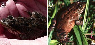 Kriptik çeşitlilik örneği: Rana luteiventris (a) ve Rana pretiosa (b).