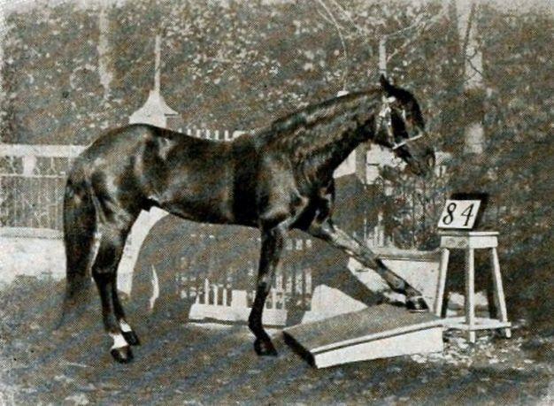 Görsel 2. Zeki Hans matematik sorularının cevabı için ayağını yere vururken.
