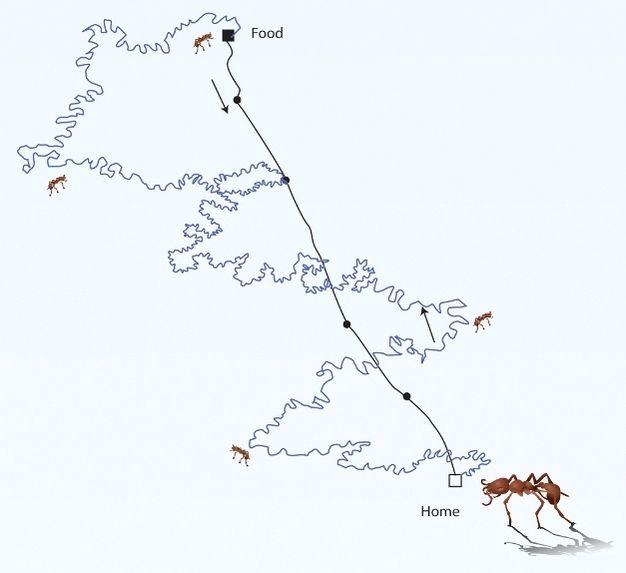 Görsel 3a. Yön bulma. Karıncalar dolambaçlı yiyecek arama yolculuğundan sonra yuvalarının yerini bulmak için KT kullanırlar.