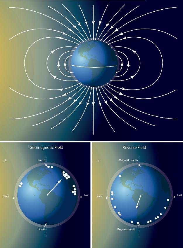 Görsel 4. Dünya'nın manyetik alanının belirlenmesi. a) Dünya'nın manyetik alanı kuzey-güney doğrultusunda hareket eder. Bu doğrultuyu ipucu olarak kullanan hayvanlar, böylelikle, göç sırasında vücutlarını yönlendirirler. b) Manyetik alan algılama yeteneklerini test etmek için deri sırtlı deniz kaplumbağaları gibi hayvanlar, polariteyi tersine çeviren bir manyetik bobin üzerine yerleştirilir. Kaplumbağalar bobinin hareketinin tersi yönde hareket eder. Bu da onların yönlerini bulmak için manyetik alanı kullandıklarını gösterir.
