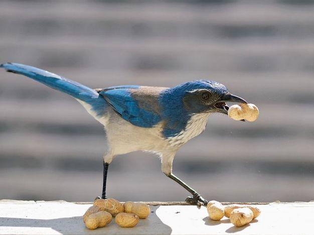 Görsel 8.  Yiyecek saklama. Cadı kargaları fıstıkları saklarken.