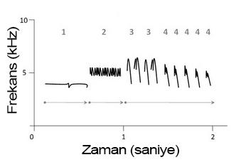 Bir beyaz taçlı serçe (Zonotrichia leucophrys) ötüşünün şematik ses görüngesi. Oklar motifleri, sayılar ise şarkının en basit birimi olan notalardan oluşan heceleri gösterir.