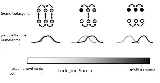 Türleşme sırasındaki ıraksamanın sürekli doğasının şematik gösterimi, bahsedilen türleşme süreci içerisinden rastgele seçilen üç nokta tasvir edilmiştir.