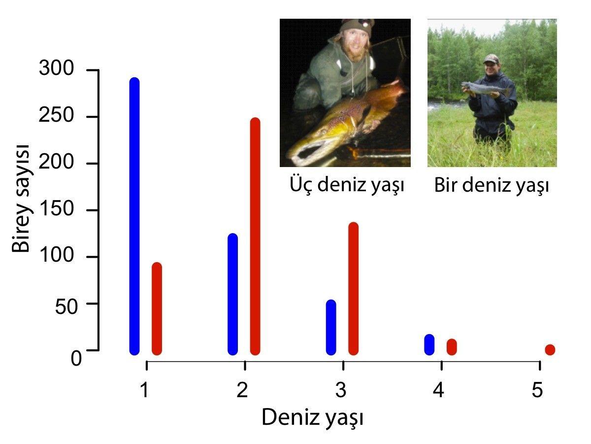 Şekil 2: Dişi ve erkeklerin ortalama yaşı. Veriler 57 populasyonun ortalamasından derlenmiştir. Dişiler için kırmızı, erkekler için mavi renk kullanılmıştır.