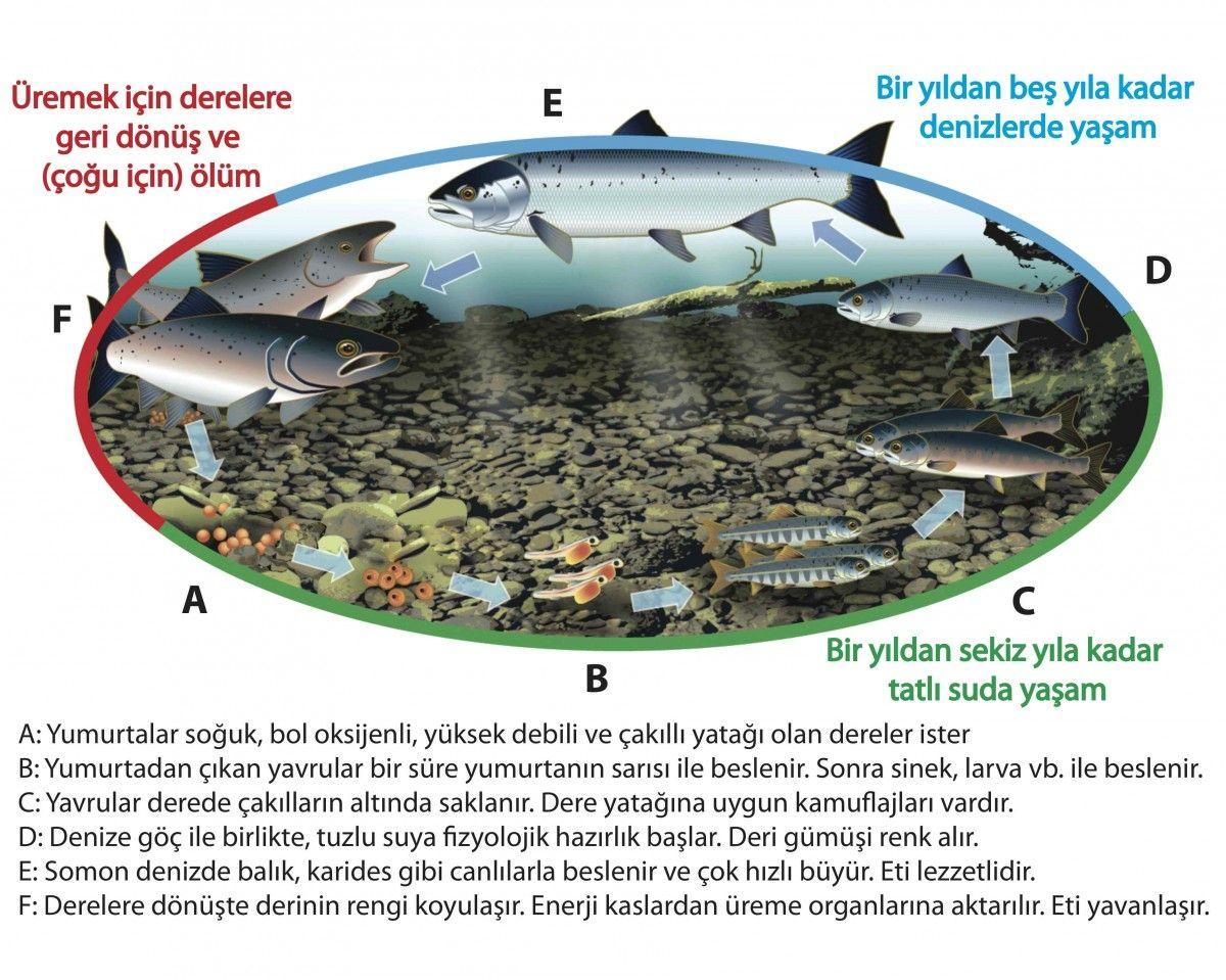 Şekil 1: Atlantik somonu yaşam döngüsü (Ham şekil DFO'dan alınmıştır.)