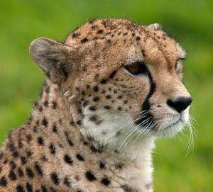 Kalıtsal görme bozukluğu olan bir çita yaşayamaz ve üreyemez ancak biz insanlar düzeltici lensler kullanıyor ve çocuk sahibi olabiliyoruz.
