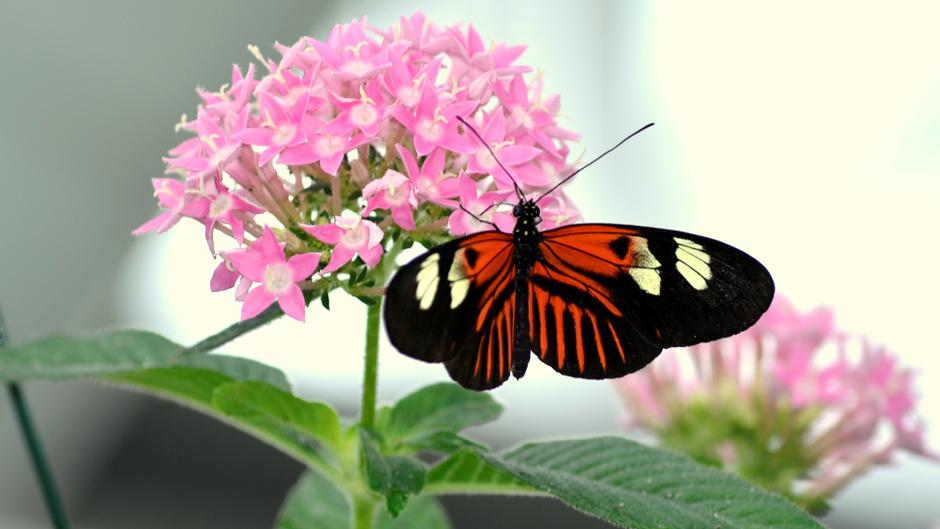 Postacı kelebeği (Heliconius melpomene), Orta Amerika'dan Güney Brezilya'ya kadar olan bölgelerde yaşarlar. Görsel: Meltem Çetin Sever