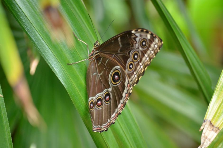 Türkçe adı Karanlık Ormanesmeri olan Speckled Wood. Palearktik bölgede (Avrupa, Asya ve Kuzey Afrika'yı içine alan bölge) görülür. Görsel: Meltem Çetin Sever