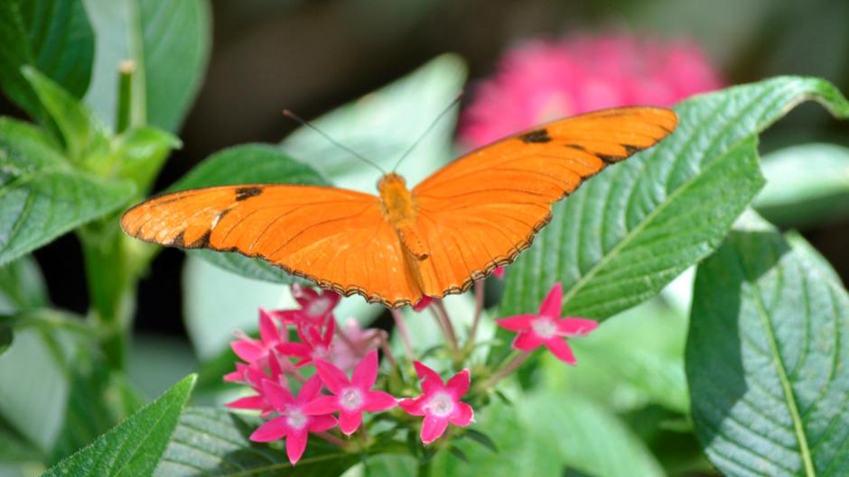 Dryas iulia, Julia Heliconian ya da genellikle Julia kelebeği diye adlandırılır. Yaşam alanları Brezilya'dan güney Teksas ve Florida'ya kadardır. Görsel: Meltem Çetin Sever