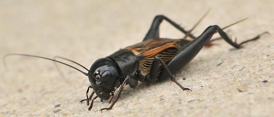 Erkek cırcır böceği (Gryllus). Erkek cırcır böcekleri ön kanatlarını birbirine sürterek ses çıkarırlar ve dişileri kendilerine çekerler. İşitme organları ön bacaklarında bulunan bir uzantıdadır.