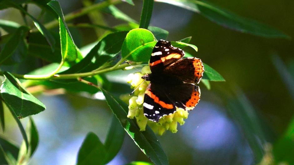 İngilizce'de Red Admiral olarak bilinen Vanessa atalanta kelebeği. Dünyanın bir çok bölgesinde görülmektedir. Görsel: Meltem Çetin Sever