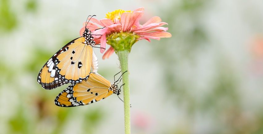 Bir kelebek çiftinin çiftleşme olayı. Görsel: Suradech Sribuanoy / Shutterstock