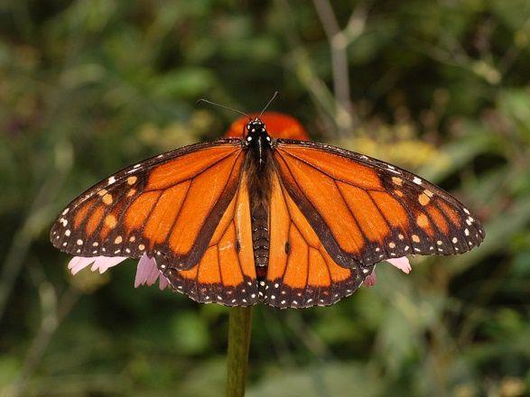 İngilizce adı Monarch olan Kral kelebeği (Danaus plexippus). Kral kelebekleri Kanada, Amerika Birleşik Devletleri, Yeni Zelanda, Avustralya, Kanarya Adaları, Azor Adaları ve Batı Avrupa'da yaşar. Görsel: Vikipedi
