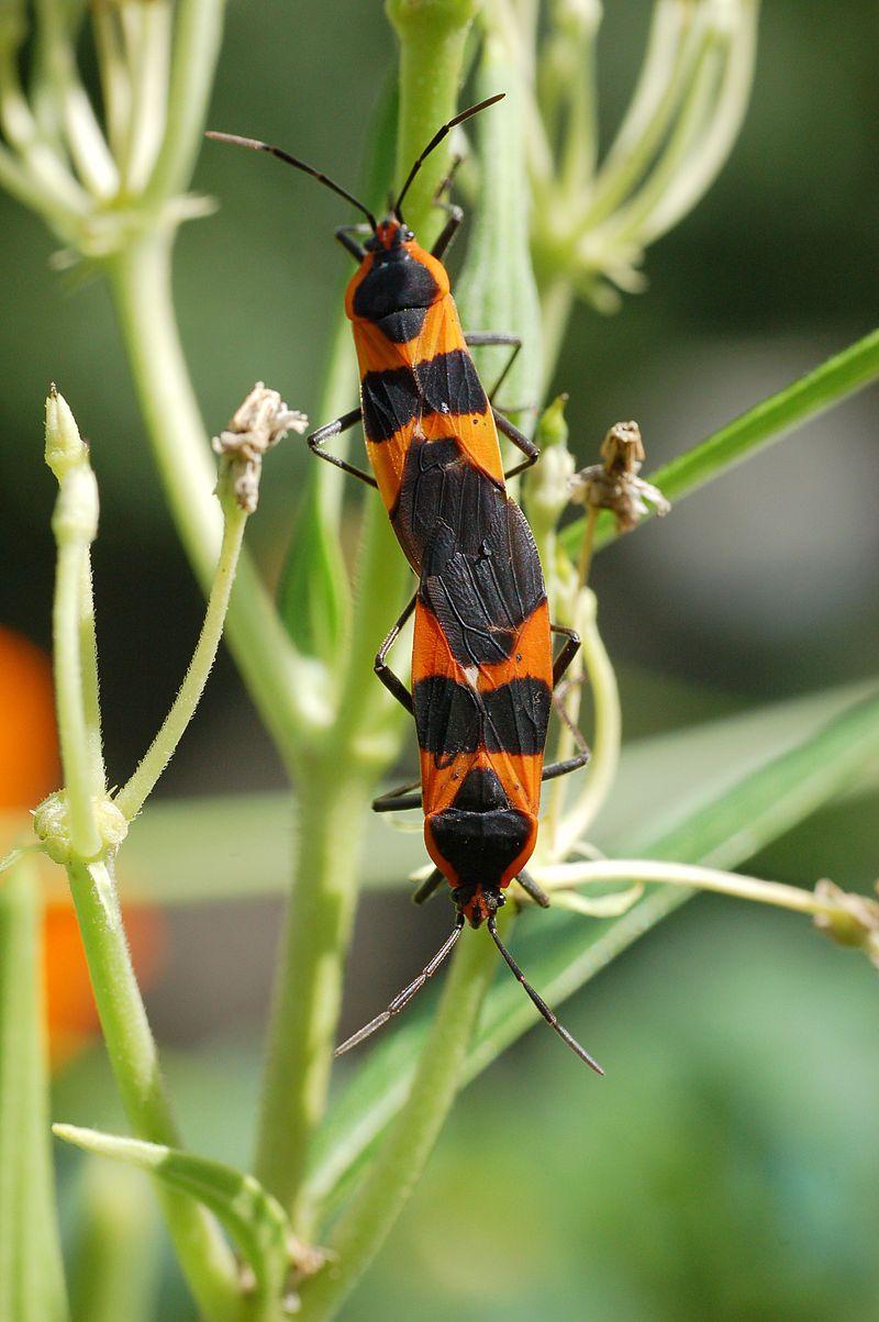 İpekotu böceklerinin çiftleşmesi.