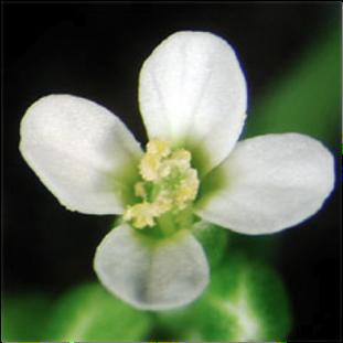 Arabidopsis thaliana bitkisinin çiçeği.