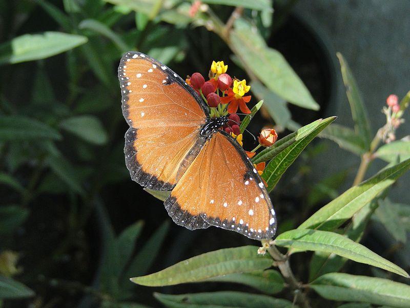 Kraliçe kelebeği (Danaus gilippus).