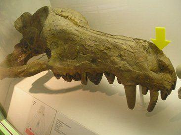 Denizel memelilerin ataları ile yakın akraba olan ve bir Mesonychid olan Andrewsarchus... Burnun kafanın önünde olduğuna dikkat!