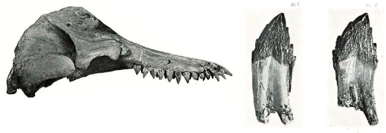 Prosqualodon
