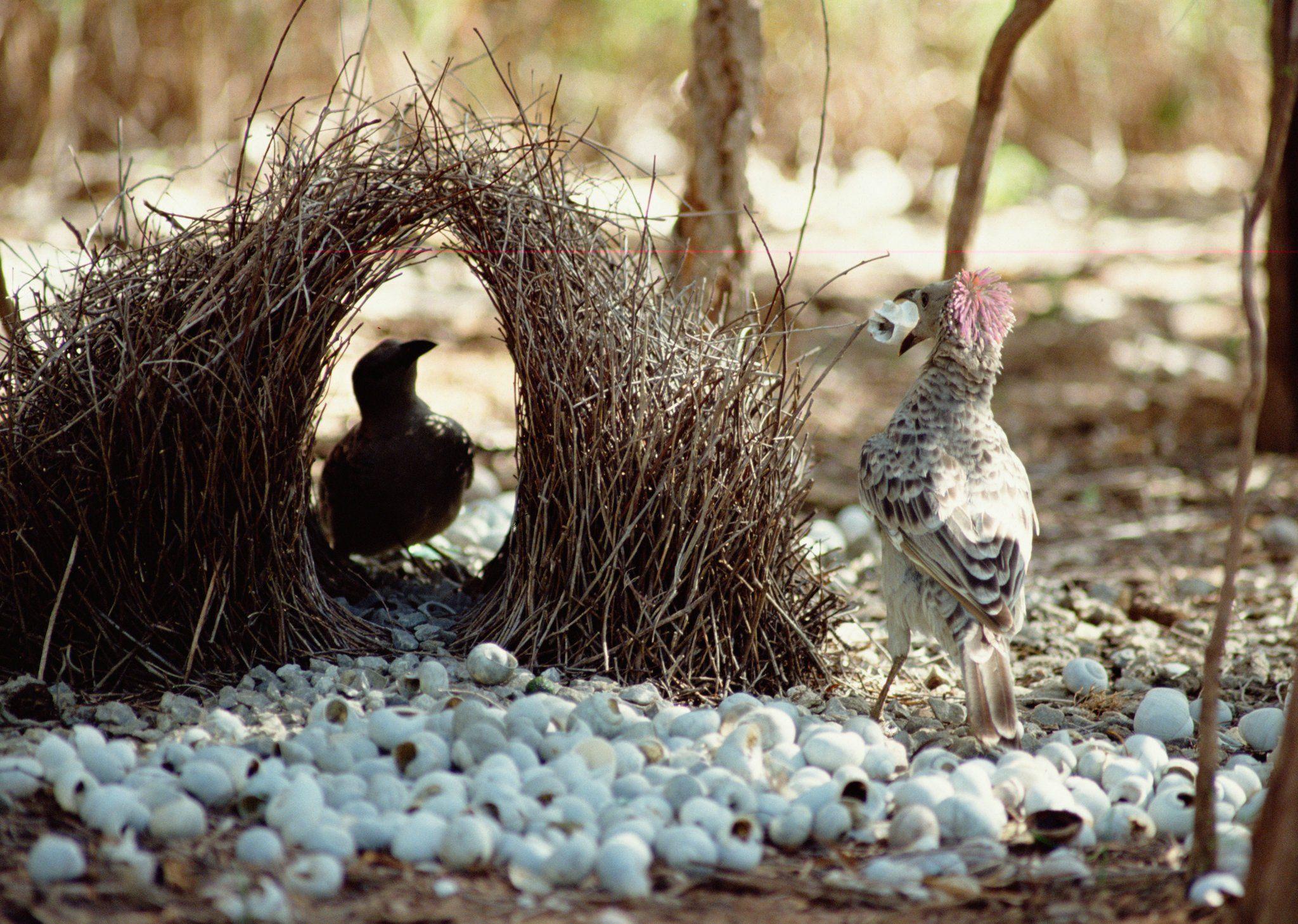 Avustralya'da bir erkek çardak kuşunun dişi kuş için sergilediği eser.
