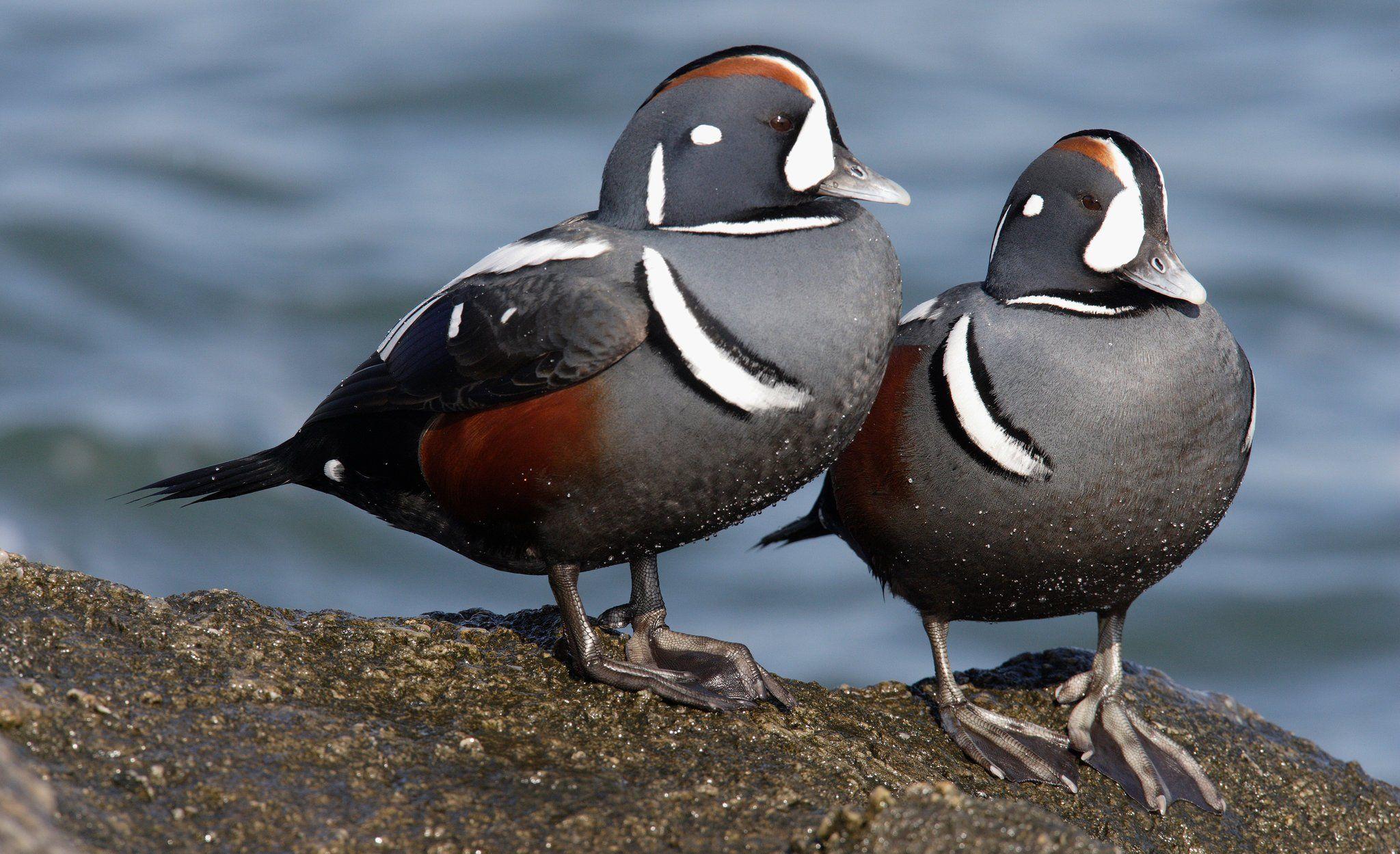 New Jersey, Long Beach'teki erkek alacalı deniz ördekleri.