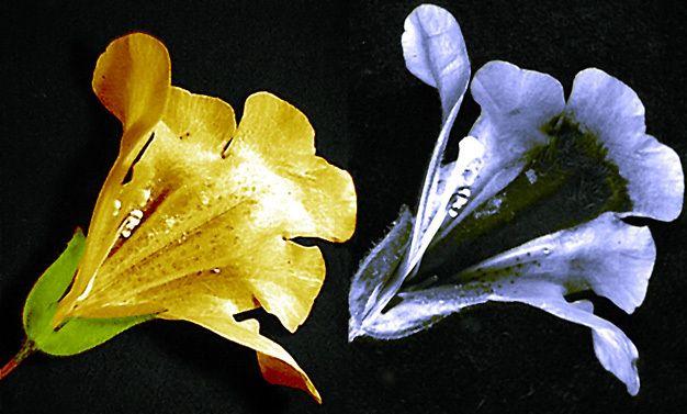 Görsel 3: Misk otu çiçeğinin beyaz ışık (solda) ve morötesi ışık (sağda) altındaki görüntülerinin karşılaştırması. Morötesi ışık altında ortadaki koyu renkli bölgeye dikkat ediniz. Bu kısım, arıyı hem nerede bitki özü bulabileceği konusunda yönlendirir, hem de arının polen ile kaplayacağı yapıdan geçmesini güvence altına alır.