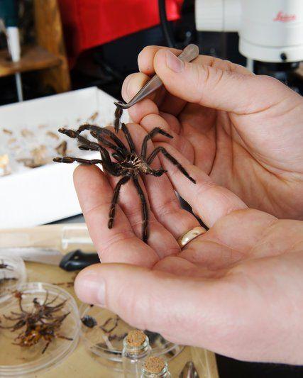 T. Ryan Gregory Guelph Üniversitesi'ndeki laboratuvarında DNA çalışmaları için örümceklerden hücre topluyor.
