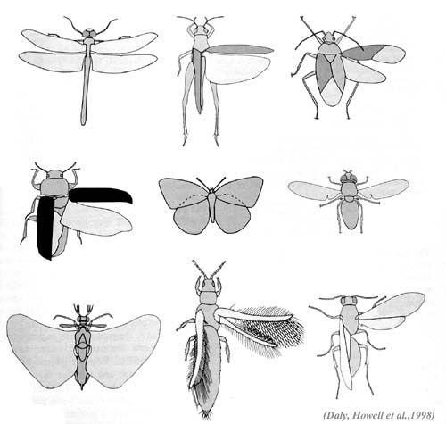 Böceklerde kanat çeşitliliği.