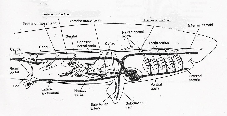 Yukarıki görsele dikkatli bakarak balıklarda vücudun sırt kısmından ve karın kısmından giden iki aortu ve solungaç yarıklarının olduğu bölgede, bu aortlar arası bağlantıları görebilirsiniz.