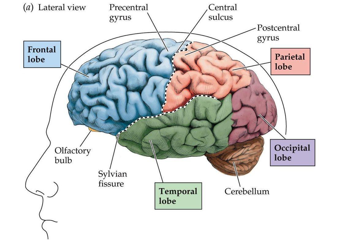 Beynin bölümleri