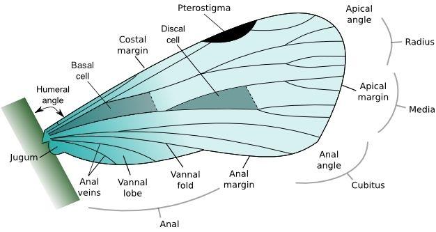 Kanatlardaki damar ağı nedeniyle ayrılan bölgelerin anatomisi.