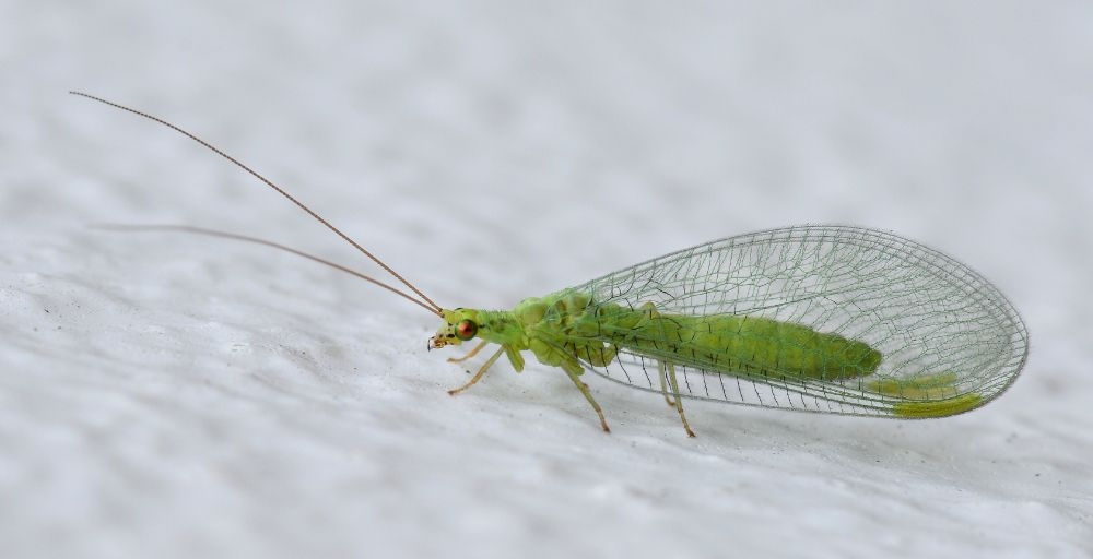 Bir Neuroptera (sinir kanatlı) üyesi olan yeşil zarkanat (green lacewing).