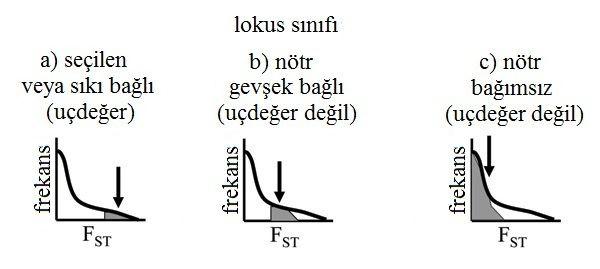 Şekil 1: Sürekli FST değerlerinin dağılımına işlenmiş üç temsili lokus. (A) Seçilen veya seçilenlerle güçlü bağlantıları olan lokuslar, özellikle yüksek FST'ye sahip oldukları için olası olmayan, istatistiki uçdeğerler olarak tanımlanıyorlar. (B) Seçilen lokuslara zayıf bağlantıları olan lokuslar biraz yüksek FST değerlerine sahip ama uçdeğer lokus olmaya yetecek kadar değil. (C) Bağımsız nötr lokusların FST'si düşük. 2010 Nature Education. Egan ve ark. (2008)'dan alınmış ve uyarlanmış, Wiley-Blackwell'in izniyle yeniden basılmıştır. Tüm hakları saklıdır.