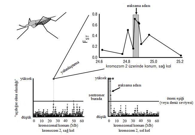 Şekil 4: Başlangıç aşamasında olan Anopheles gambiae türü üzerinde genomik ıraksama adalarının deneysel bir örneği. Aşağıdaki iki grafik, kromozom iki üzerindeki farklılaşma şemasını gösteriyor (Turner ve ark. 2005). Gri alanlar; kayan pencere analizlerinde yüksek derecede farklılaşmış olarak tanımlandı ve farklılaşma, bu bölgelerdeki lokuslar (kırmızı daireler) dizilenerek doğrulandı. Sol kolda, sentromerin yakınında, beklenenin çok üstünde farklılaşmış büyük bir ada kendini belli ediyor. Sol kolda küçük bir ada da belirgin olarak görülmekte. Üstteki grafik, küçük adadaki belirtilen tüm genlerin dizisinin bir kısmının çıkarıldığı, daha sonra yapılan bir çalışmayı gösteriyor (Turner & Hahn 2007). 2010 Nature Education. Orijinal araştırmadan uyarlanmış ve Public Library of Science ve Society of Molecular Biology and Evolution'ın izniyle yeniden basılmıştır. Tüm hakları saklıdır.