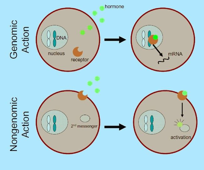 Genomik ve genomik olmayan steroid hormonların faaliyeti (2010 Nature Education)